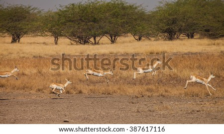 blackbuck (Antilope cervicapra) is an ungulate species of antelope native to the Indian subcontinent that has been listed as Near Threatened on the IUCN Red List - stock photo