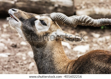 Blackbuck (Antilope cervicapra) is an ungulate species of antelope native to the Indian subcontinent that has been listed as Near Threatened on the IUCN Red List since 2003. Beauty in nature. - stock photo
