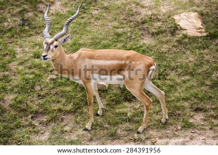 Blackbuck on grass