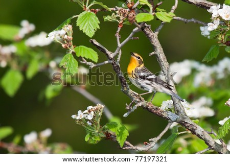 blackburnian warbler sings in an apple tree. tree is in bloom with white flowers. background consists of shallow focus of leave greens and tree browns.