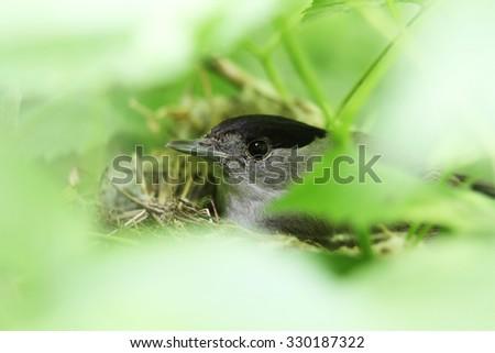 Blackcap (Sylvia atricapilla ), sittin in the nest - stock photo