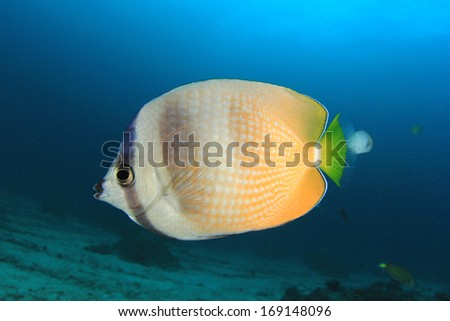 Blacklip Butterflyfish - stock photo