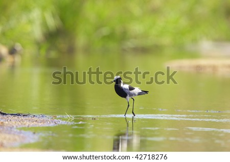 Blacksmith Lapwing or Plover (Vanellus armatus) walking in water in South Africa. Very shallow depth of field