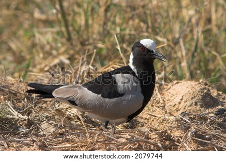 Blacksmith Lapwing (Plover) gaurding its nest from intruders - stock photo