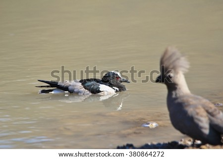 Blacksmith Plover and Grey Lourie - African Wild Bird Background - Sharing Water - stock photo