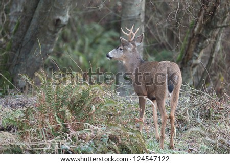 Blacktail Deer in forest - stock photo