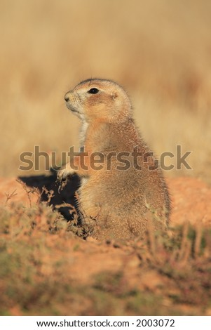 Blacktail Prairie Dog - Devils Tower National Monument