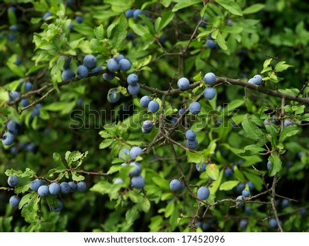 Blackthorn - stock photo