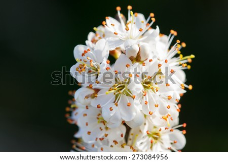 Blackthorn Blossom. Branch with white flowers. - stock photo