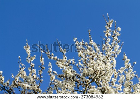 Blackthorn Blossom on blue sky. Branch with white flowers. - stock photo