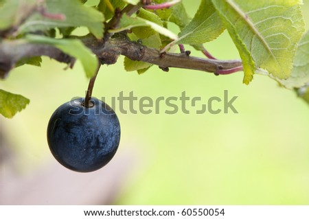 blackthorn grows a sloe berry slowly - stock photo