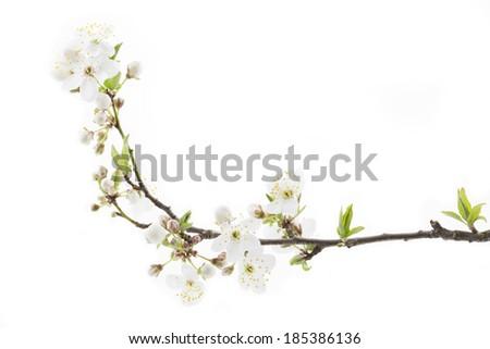 Blackthorn (prunus spinosa ) blossoms - stock photo