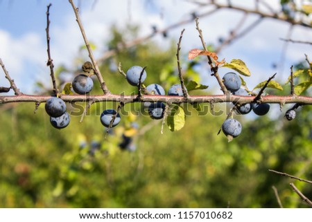 Blackthorn (Prunus Spinosa) Branch with Ripped Fruit Berries