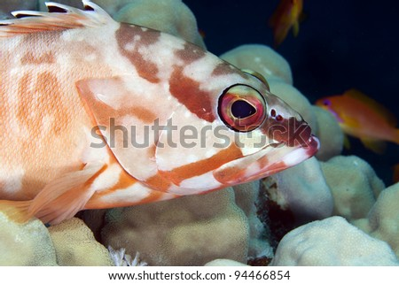 Blacktip grouper in de Red Sea