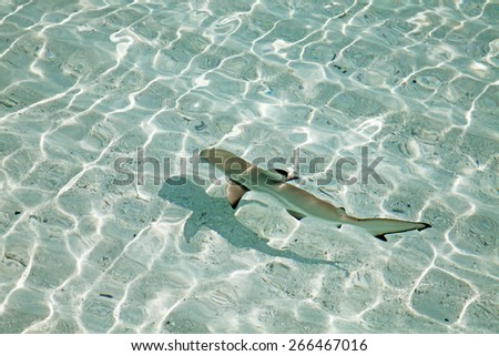 Blacktip reef shark (Carcharhinus melanopterus) in the shallow water - stock photo
