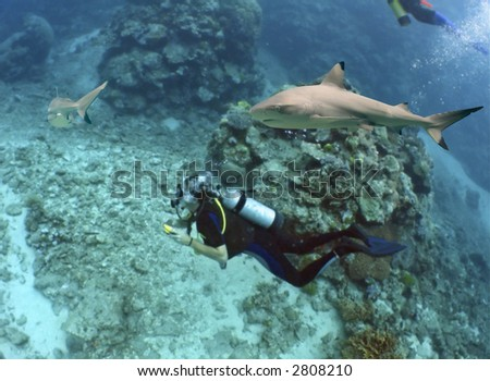 Blacktip Reef Shark (Carcharhinus melanopterus) swimming over reef, with scuba divers