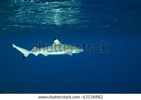 Blacktip reef shark in deep blue of Pacific Ocean - stock photo