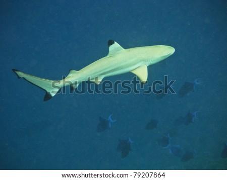Blacktip reef shark in deep water - stock photo