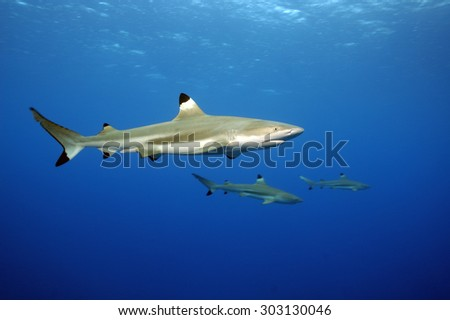 BLACKTIP REEF SHARK SWIMMING IN A TAHITIAN CLEAR WATER  - stock photo