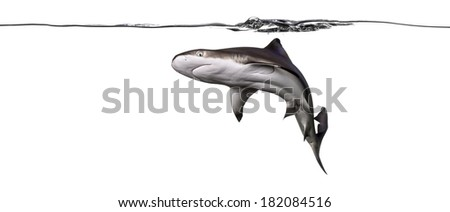 Blacktip reef shark swimming under water line viewed from below, Carcharhinus melanopterus, isolated on white - stock photo