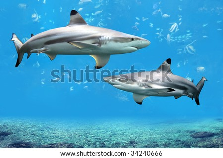 Blacktip Reef sharks swimming in tropical waters over coral reef - stock photo