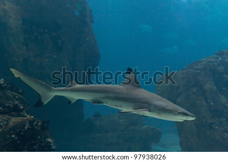 Blacktip shark (Carcharhinus limbatus) - stock photo