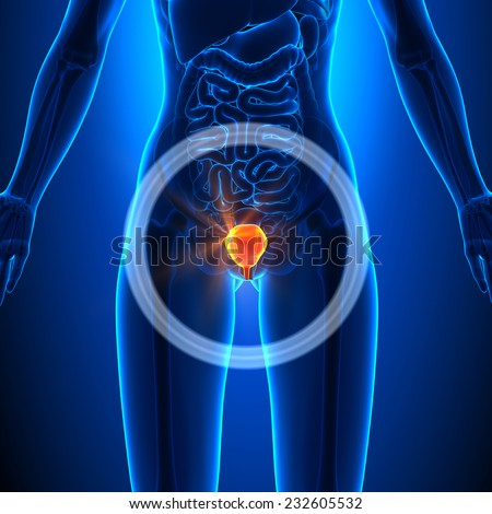 Bladder - Female Organs - Human Anatomy - stock photo