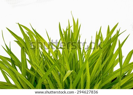 blade of grass on white background - stock photo