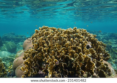 Bladed fire coral with small fish in a reef and ripples of underwater surface, Caribbean sea, Panama - stock photo