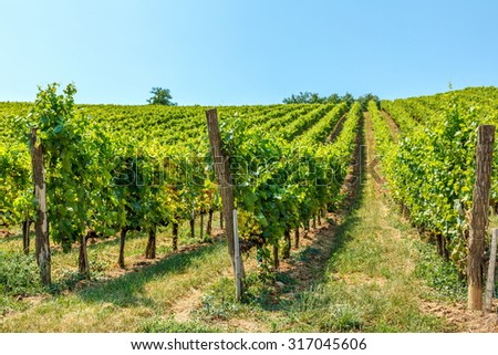 Blauburger green grapes in a vineyard in Hungary - stock photo