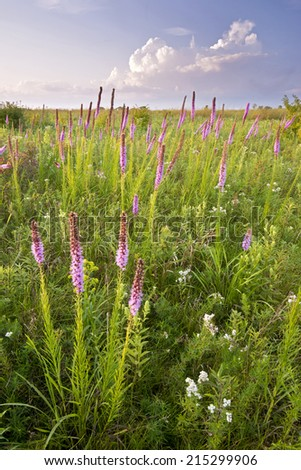 Blazing star wildflowers in the light of a setting sun.  Springbrook Prairie Nature Preserve, DuPage County, Illinois. - stock photo