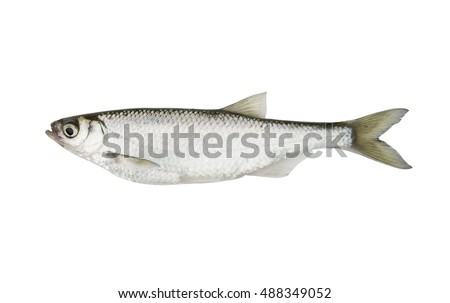 Bleak freshwater fish isolated on white