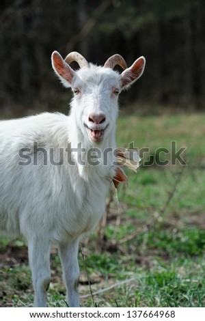 Bleating Goat on Pasture