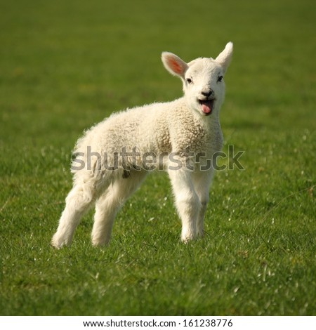 Baby Lamb Stock Images Royalty Free Vectors
