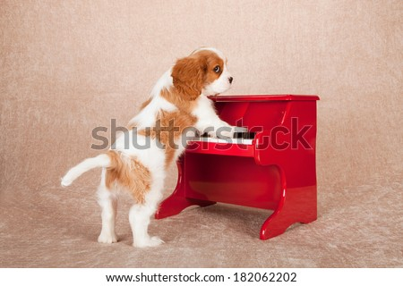 Blenheim Cavalier King Charles puppy playing red toy piano on beige background - stock photo