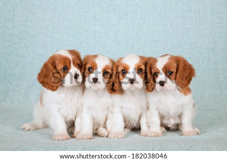 Blenheim Cavalier King Charles Spaniel puppy with pink cupcake on pink cupcake stand on light blue green background - stock photo