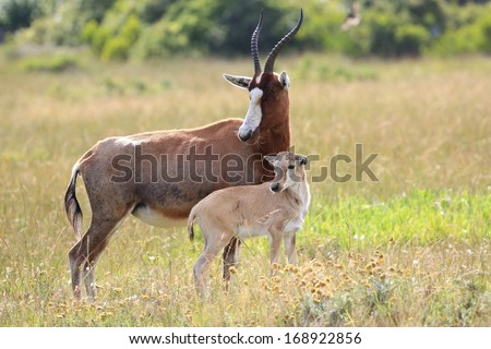 Blesbok antelope standing protectively next to it's baby - stock photo