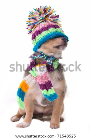 Blind (can't see), closed eyes concept. Chihuahua Puppy Wearing Hat Pulled Over Eyes - stock photo