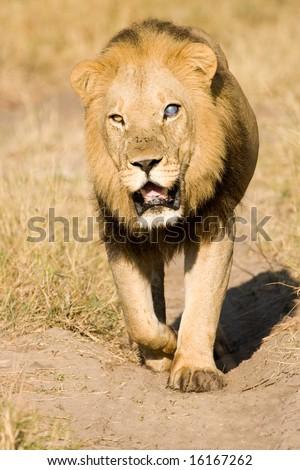 Blind Male Lion walking (Pantera Leo) - stock photo