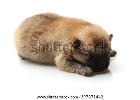 Blind Pomeranian Spitz puppy on a white background - stock photo