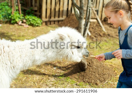 Blond toddler european girl feeding fluffy furry alpacas lama camels with apple - stock photo