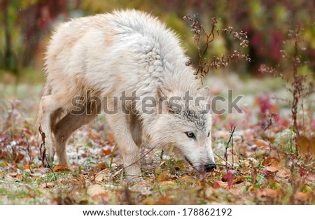 Blonde Wolf (Canis lupus) Sniffs to the Right - captive animal