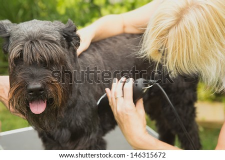 Blonde woman cutting big black schnauzer dog by machine.