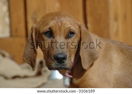 Blood Hound Puppy - stock photo