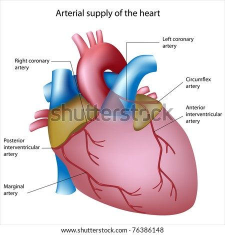 Blood supply heart sites heart attack stock illustration 76386148 blood supply to the heart sites of heart attack ccuart Images