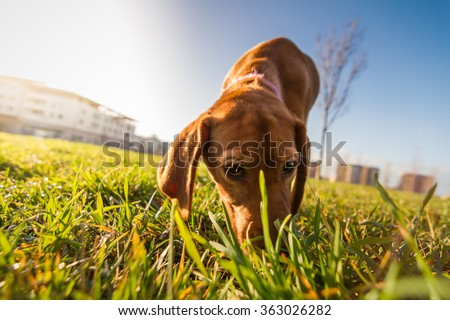 Bloodhound dog puppy close up portrait. Cute puppy dog looking on camera while sniffing the ground. Sun flare effect.  - stock photo