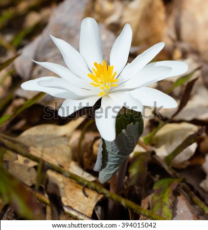 Bloodroot (Sanguinaria canadensis) blooming in March in Tennessee - stock photo