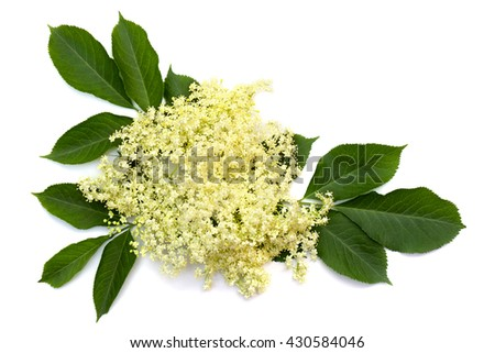 Bloom and leaves elderflower (Sambucus nigra) on white background. Common names: elder, elderberry, black elder, European elder, European elderberry and European black elderberry.  - stock photo