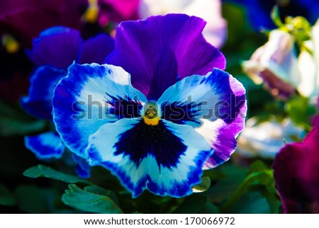 bloom colorfull pansy viola tricolor flower in garden - stock photo