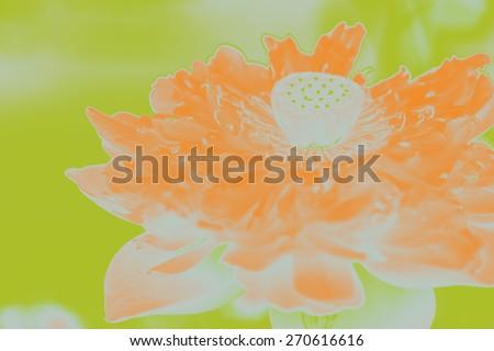 bloom lotus flower - stock photo